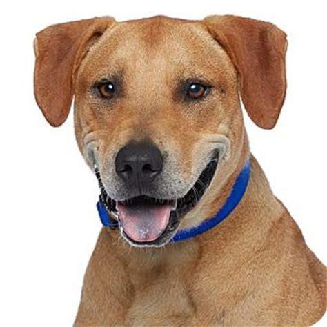 dachshund puppies for sale in new braunfels rhodesian ridgeback labrador retriever mix puppies southern california breeds