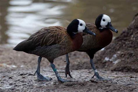 types of ducks different types of ducks