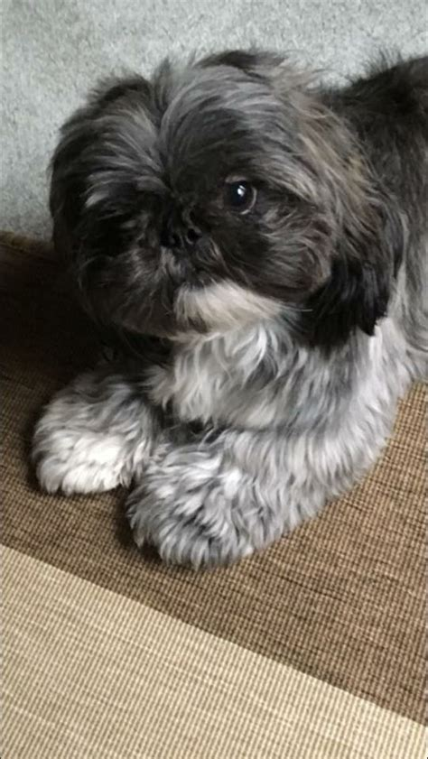 shih tzu rescue columbus ohio 64 best images about shihtzu on san diego pet and pets