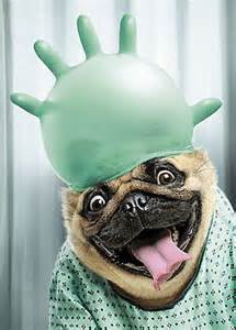 get well soon pug pug with surgical glove get well soon card by avanti in hospital greeting card ebay