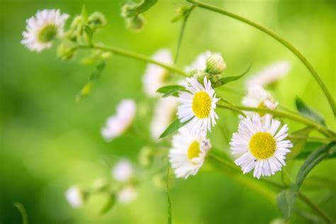 camomilla fiori foto gratis petali pianta fiore fiore camomilla