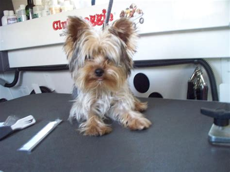 how to groom a yorkie yourself shorkie haircut styles hairstylegalleries