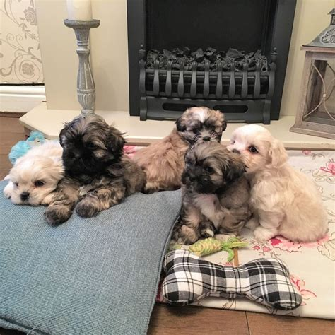 maltese shih tzu puppies for sale uk beautiful maltese shih tzu puppies for sale sheffield south pets4homes