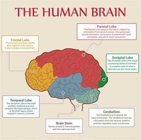 sections of the brain human brain parts los libros resumidos de resumelibros tk