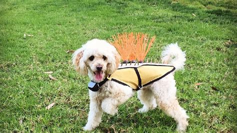 protects puppy rock type vests designed to protect dogs from coyote attacks news weather