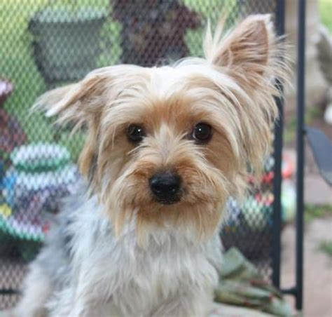 luxating patella in yorkies yorkie rescue