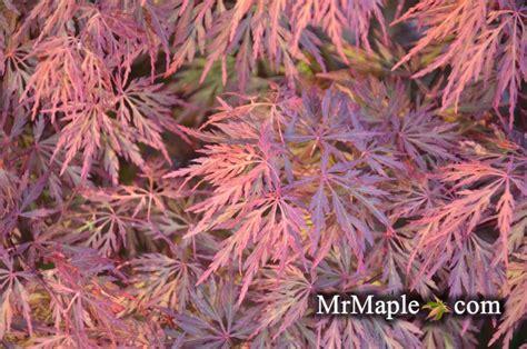 buy a maple tree buy acer palmatum dissectum orangeola japanese maple mr maple buy japanese maple trees
