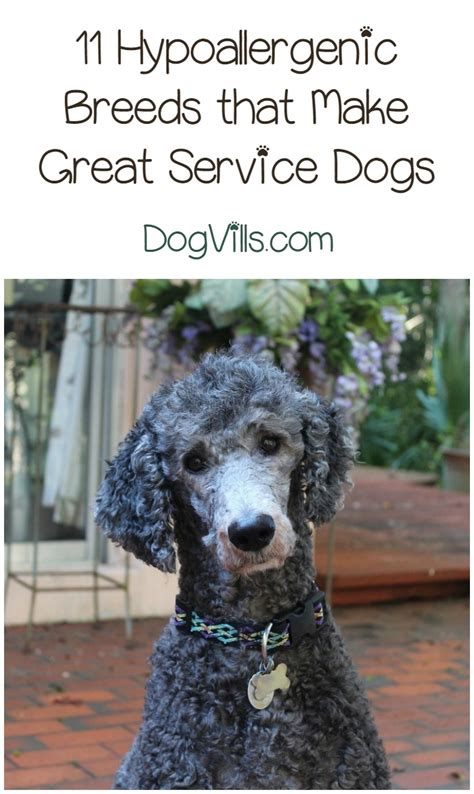 service breeds 11 best hypoallergenic service dogs