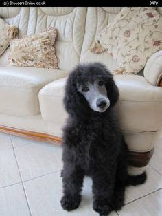 silver standard poodle puppies for sale poodles puppies on standard poodles poodle and poodles