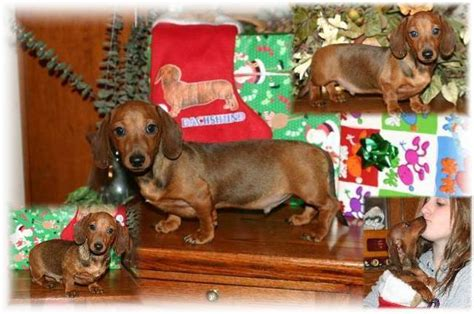 dachshund puppies kentucky dachshund puppies for adoption in ky photo