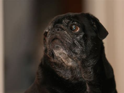 black pug puppies for adoption pug puppies for free adoption picture breeds picture
