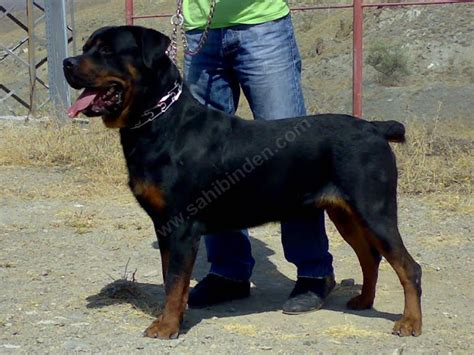 Rottweiler Shed by Rottweiler Puppies Johannesburg Breeds Picture