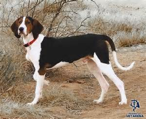 Treeing walker coonhound complete breed information and photos