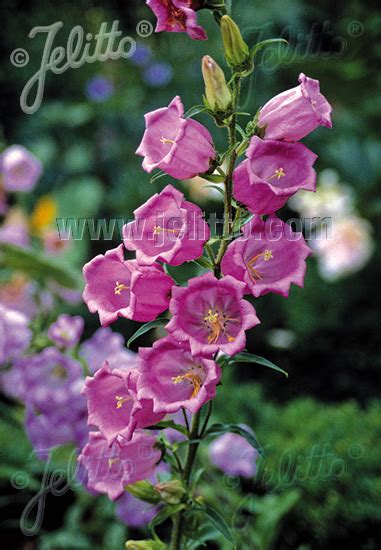 Glockenblume Rosa by Canula Medium Rosa Marien Glockenblume