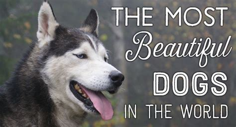 prettiest dogs top 10 most beautiful breeds list in the world zoopedia
