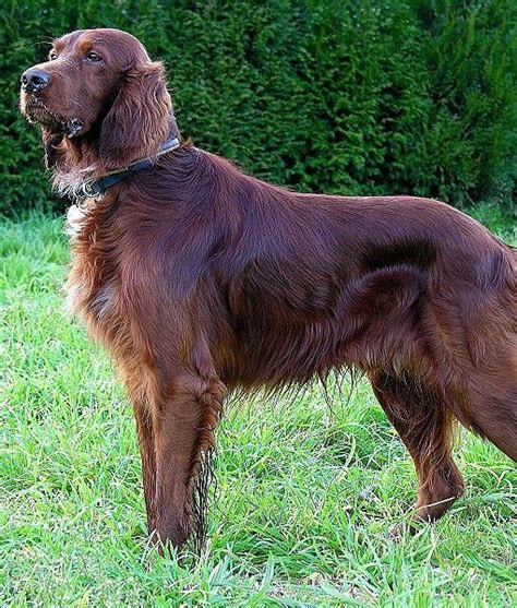 define setter c 186 best irish setter i had one images on pinterest