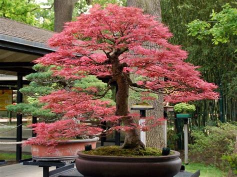 libro bonsai with japanese maples 22 best trees for bonsai best bonsai plants balcony
