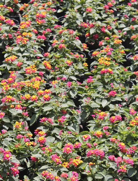 size of lantana try lantana for a summer and fall blooming perennial 187 gardening in the panhandle