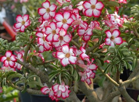 Pupuk Untuk Bunga Adenium cara merawat adenium agar rajin berbunga bibitbunga