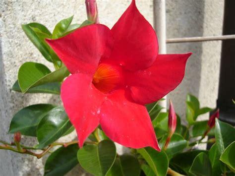 fiori tropicali nomi dipladenia mandevilla sundevilla
