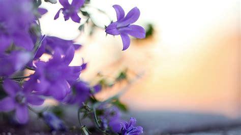 viola flower wallpaper www pixshark com images violet flowers wallpaper www pixshark com images