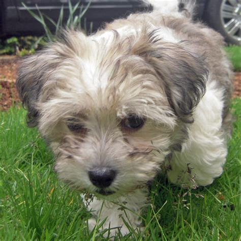havanese breed profile havanese breed profile breeds picture
