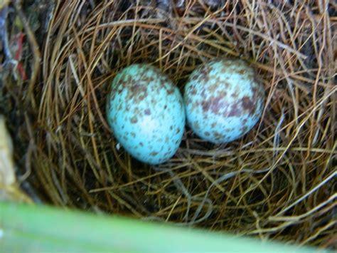 Northern Mockingbird nest   FeederWatch
