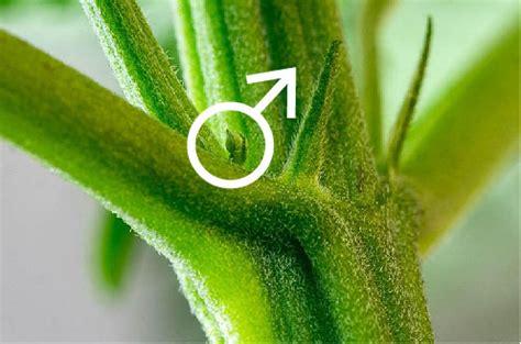 bloem pot hoog been geslacht bepalen na het planten van marijuana zaden