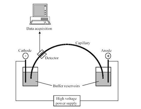 diagram of electrophoresis electrophoresis diagram www pixshark images