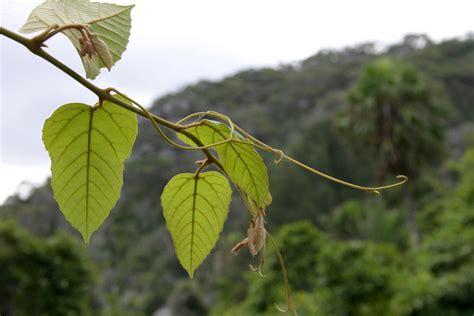 Plante D Appartement D Origine Tropicale by Vigne D Appartement Cultiver Et Entretenir Ooreka