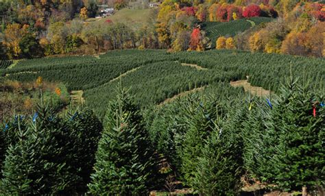 wholesale christmas tree farm powers tree farm