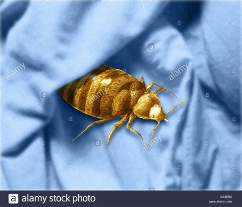 color of bed bugs color enhanced bedbug cimex lectularius illustration bed bugs are stock photo