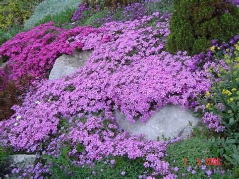phlox spreads beautiful flowers pinterest