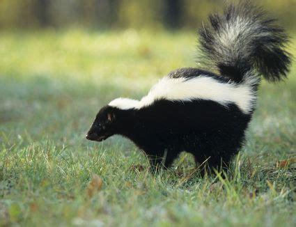 de skunk  dog