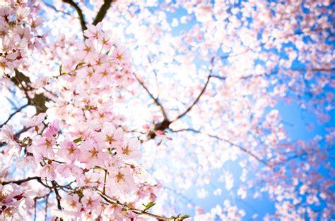 wallpaper laptop bunga sakura sakura wallpapers wallpaper cave