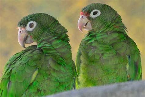 amazzone testa gialla la mappa dna dell ultimo pappagallo statunitense