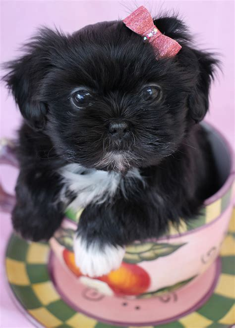 shih tzu breeders in south florida shih tzu puppies for sale teacups puppies boutique