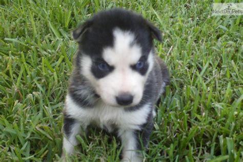 free siberian husky puppies near me siberian husky for sale for 900 near houston 92c46a33 8881