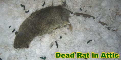 Mice In Walls And Ceiling by Dead Rat Carcass Removal How To Find Deceased Rodents Or