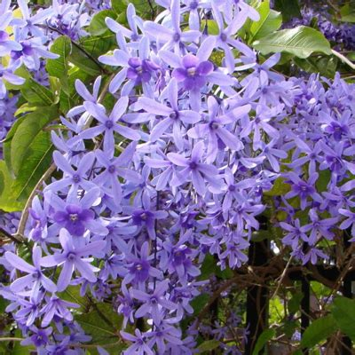buy petrea volubilis plant   nursery   plants  lowest price