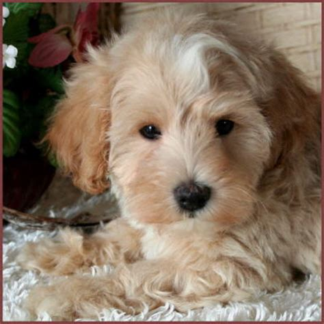apricot maltipoo puppies for sale image gallery maltipoo apricot
