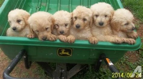 goldendoodle puppies for sale in nc goldendoodle puppies for sale for sale in mount airy carolina classified