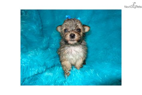 yorkies for sale in sioux falls sd wee yorkiepoo yorkie poo puppy for sale near sioux falls se sd south dakota