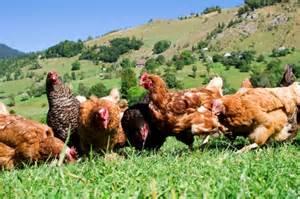 farm fresh eggs from free range hens leslie loves veggies