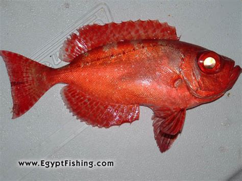 L Eye Fish by Hurghada Boat Fishishing Photos Fish Sea For