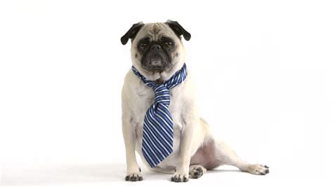 pug tie clip the shows pug looking into stock footage 7767373