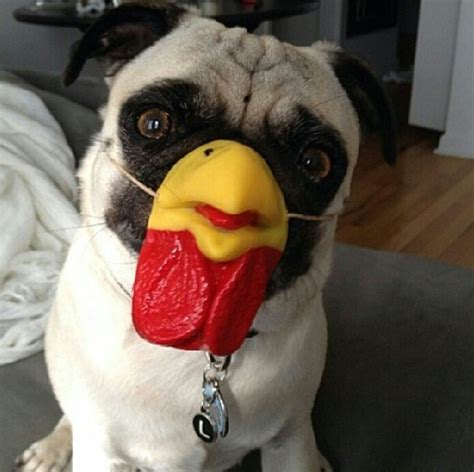 chicken pug accessory of the day pug chicken nose the poke