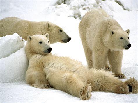 1000 images about polar on baby polar bears polar cubs and ballet