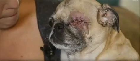 pug cloudy eye vet removes s eye without owner s consent