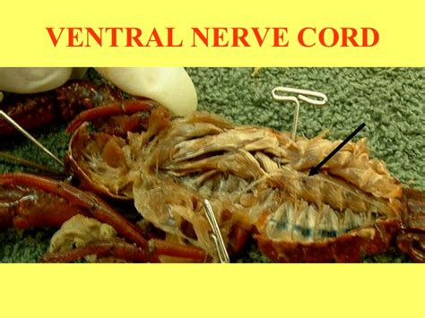 earthworm dissection ventral nerve cord crayfish dissection